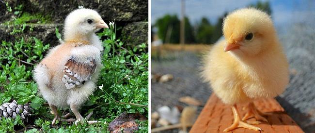 Орпингтон купить цыплят инкубационное яйцо редкие окрасы