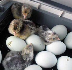 кремовый легбар, яйцо, инкубационное яйцо легбар, цыплята легбар, купить яйцо циплят куру легбар, история стандарт породы легбар, кремовый хохлатый легбар, какую породу кур купить, описание характеристика легбар, курица несушка легбар, легбар московская область
